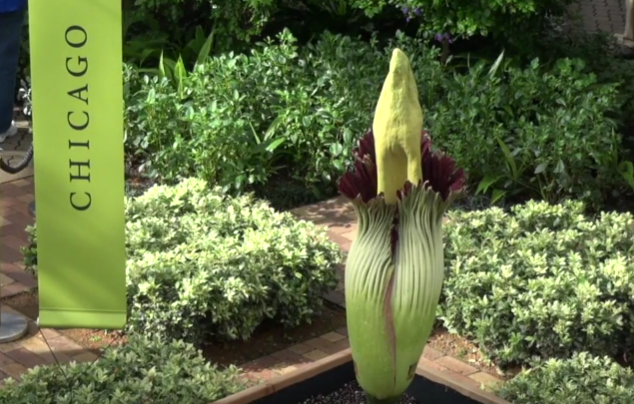 Corpse Flower Alice Blooming At Chicago Botanic Garden