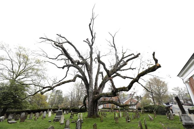 A tearful goodbye: NJ town bids farewell to 600-year-old tree
