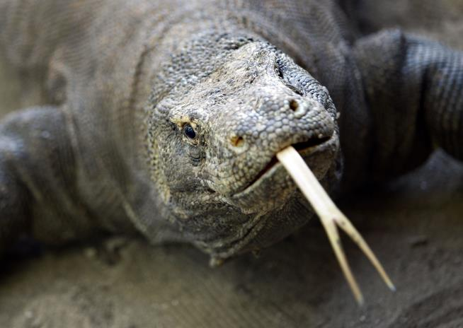 Komodo dragon bites Singaporean tourist in Indonesia