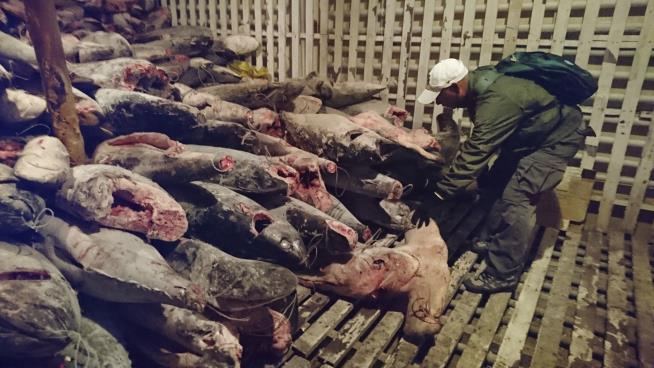 Ecuador jails Chinese fishermen found with 6000 sharks