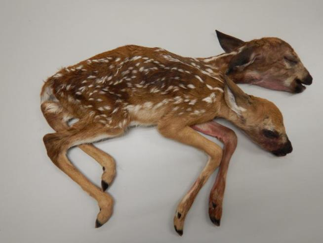 Rare two-headed deer found in Minnesota forest
