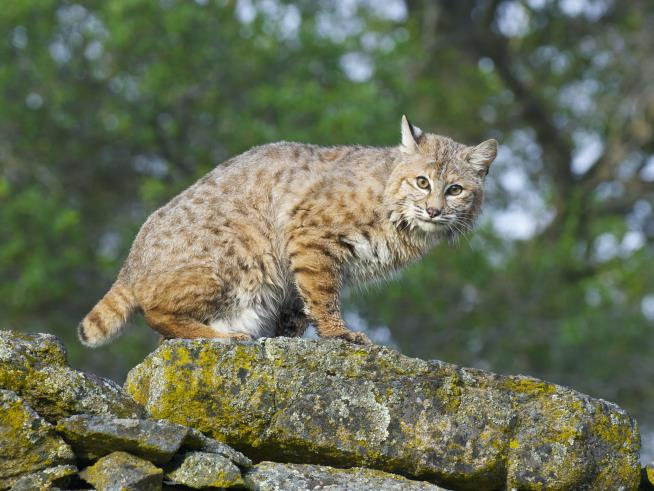 GA woman strangles rabid bobcat that attacked her in her yard