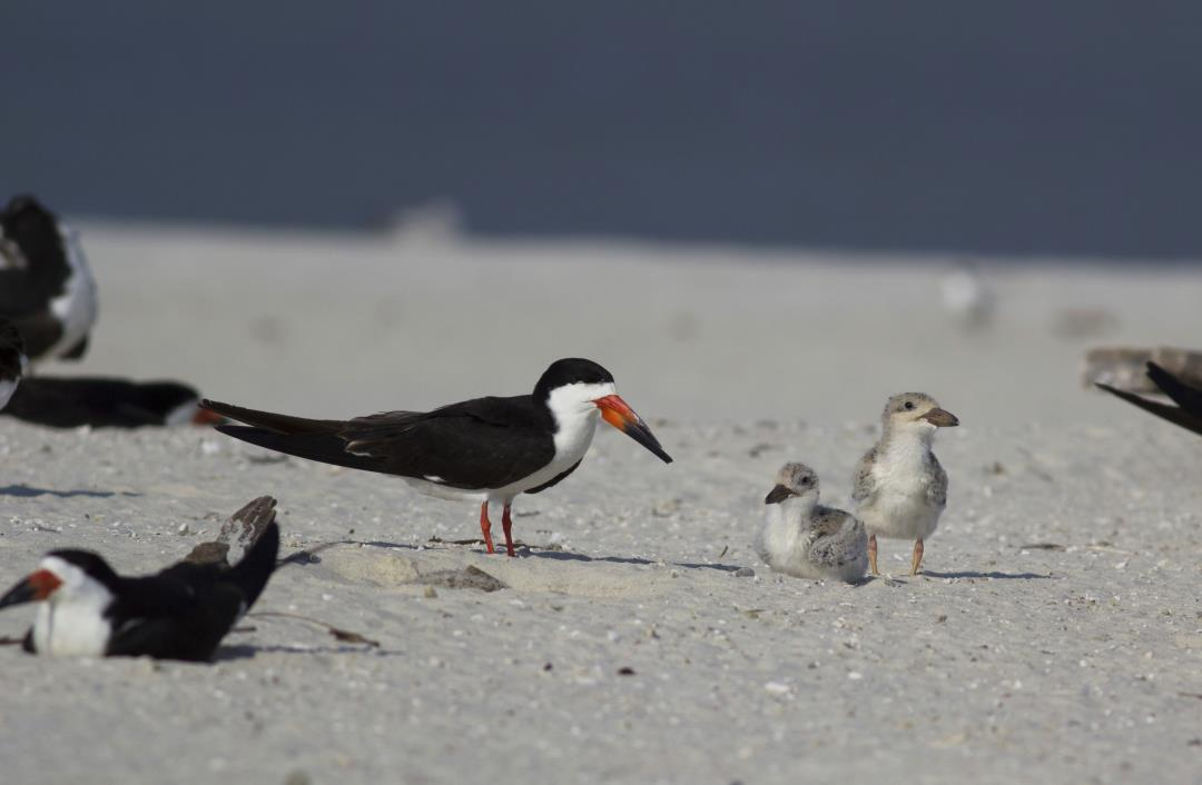 Beach Volleyballers Wreck Protected Birds' Nests