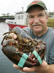 Lobster fisherman Bernie Feeney, of Whitman, Mass., displays a lobster with green rubber bands on its claws at the Cardinal Medeiros dock, in Boston, Wednesday, July 2, 2008.
