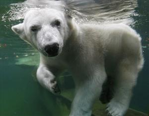 Zero the polar bear (not pictured) has been rescued from he moat he was trapped in at the Milwaukee County Zoo.