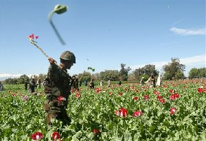 An Afghan National Army soldier is seen destroying the opium poppies in a field, during a poppy eradication campaign in Nangarhar province, east of Kabul, Afghanistan,  Monday, April. 2, 2007. Afghanistan is the top producer of heroin in the world. (AP Photo/Rahamt Gul)