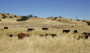 Cattle are shown on Joe Gonzales' ranch in Gilroy, Calif. California's worst drought in decades is forcing the state's cattle ranchers to downsize their herds.