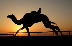 Camel Racing in Qatar