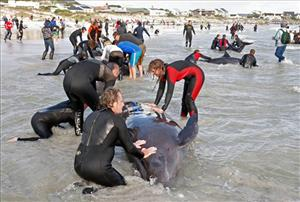 People seen as they attempt to save whales on the beach, in Kommitjie, South Africa, Saturday, May 30, 2009.