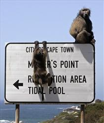 A baboon holds on to a signpost directing people to Miller's Point, South Africa.