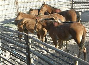 Wild horses cluster together after a Bureau of Land Management roundup at the Caliante Complex gather near Panaca, Nev.