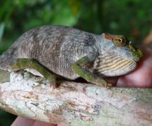The newly discovered Kinyongia magomberae (Magombera chameleon).