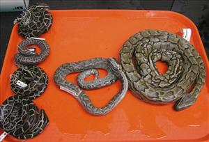 This Aug. 24, 2009, photo released by the Florida Museum of Natural History, shows Burmese pythons, left, and an African rock python, center, that were removed from the Florida Everglades.