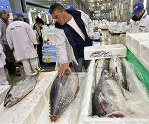 A wholesale retailer checks Bluefin tunas caught in the Indian Ocean, at the Rungis wholesale market, south of Paris, early Friday, Feb. 5, 2010.