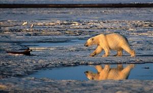 File - In this 2003 file photo provided by Subhankar Banerjee, a polar bear walks in the Arctic National Wildlife Refuge.