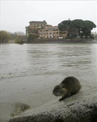 A coypu, or nutria (Myocastor coypus), a toothy, over-sized rodent which inhabits the Tiber river, climbs on the submerged stairs on the banks of the Tiber, in central  Rome.