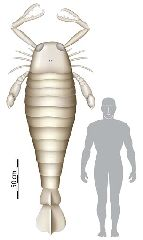 This is a computer generated image issued by the University of Bristol in England released on Tuesday Nov. 20,  2007 showing a size comparison between a human an ancient sea scorpion. A fossil found in Germany indicates the ancient sea scorpion was once 2.5 metres (8 feet) long, making...