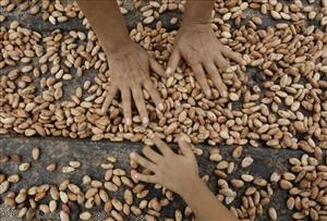 Farmers dry cacao beans in Peru. Weak harvests have raised the price of cocoa worldwide, and the mystery investor has now pushed it even higher.