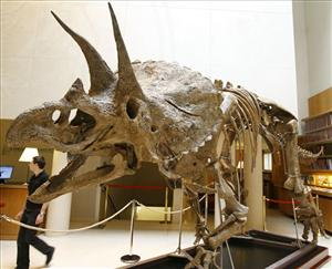 A 'triceratops' skeleton is displayed at Christie's auction house in Paris.