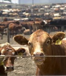This photo taken Aug. 3, 2001 near Holdredge, Neb., shows cattle in a feedlot.