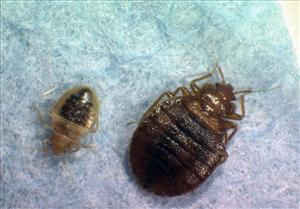 This 2008 file photo provided by Virginia Tech Department of Entomology shows two bedbugs.