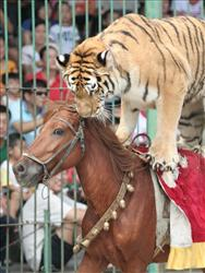A tiger rides a horse in a circus show in Xiamen in southeast China's Fujian province.