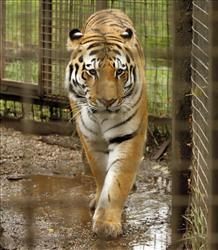 The lion proved to be no match for the Bengal tiger, zoo officials say.