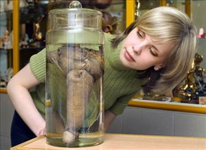 A visitor looks at Rasputin's penis displayed at the first Russian museum of erotica in St. Petersburg ... not Iceland's Phallological Museum.