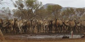 In this undated photo released by the Northern Territory government, camels are seen crowded around a drinking trough in MacDonnell Shire of the Northern Territory, Australia.