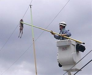 This June 15, 2011 photo shows a power company lineman using a pole to remove a young deer carcass that was dropped onto a power line after being snatched by an eagle in East Missoula, Mont.