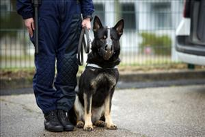 A police dog, but not Rapports Opus.