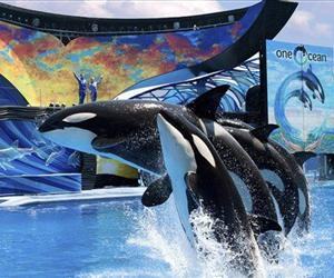 Shamu and others leap out of the water at SeaWorld in this file photo.