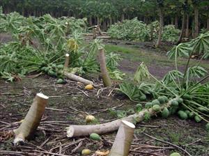 Vandalized papaya trees are seen in in Pahoa, Hawaii.