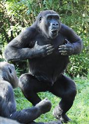 A Western Lowland Gorilla  thumps its chest at the Smithsonian's National Zoo.