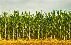 File photo of a cornfield.