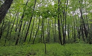 In this May 19, 2010 file photo, a black cherry tree sprouts in a stand of birch trees on protected conservation land in Weston, Mass.