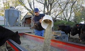 In a photo taken Oct. 31, 2011, central Illinois farmer Dale Hadden feeds his Angus beef cattle on the family farm near Jacksonville, Ill. Hadden's farming operation is doing especially well this year for any of a number of reasons and will use this as an opportunity to funnel some...