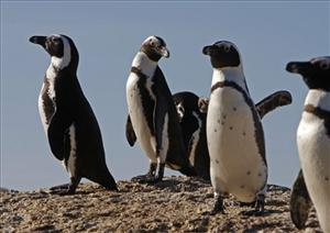 With the number of African penguins dwindling fast, zookeepers decided to split up a pair of males who had nested together.