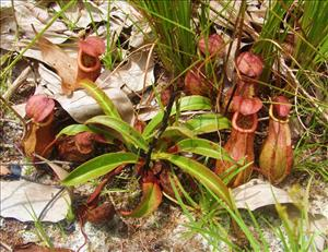 The WWF announced the discovery of five species of carnivorous pitcher plants, Nepenthes, around the Greater Mekong region.