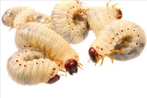 Maggots may help clean wounds faster.