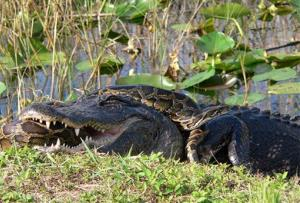 A Burmese python is wrapped around an American alligator in Everglades National Park.