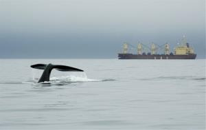 In this 2007 photo released by the New England Aquarium, a right whale dives near a ship in Canada's Bay of Fundy.
