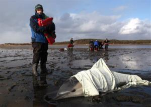 In this Jan. 19, 2012 file photo, Patty Walsh monitors the breathing of a stranded common dolphin while a team behind her prepares to move another dolphin at Herring River in Wellfleet, Mass.