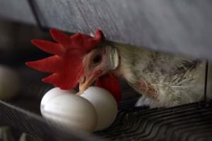 A chicken cracks an egg at chicken farm in this file photo.