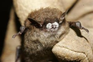 This 2008 file photo provided by the New York Department of Environmental Conservation shows a little brown bat suffering from white-nose syndrome, with the signature frosting of fungus on its nose.