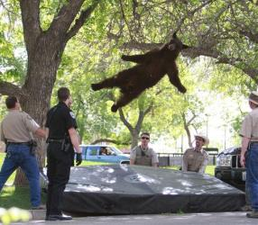 A bear that wandered into the University of Colorado Boulder, Colo., dorm complex Williams Village falling from a tree after being tranquilized by Colorado wildlife officials.