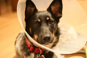 A dog cone. Designed for ... dogs.