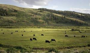 This July 2011 image provided by the Wyoming Game and Fish Department shows cattle grazing on the Fish Creek Ranch near Big Piney, Wyo.