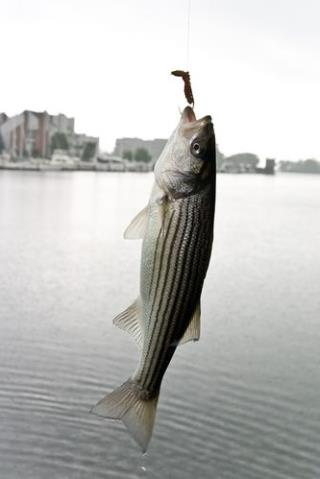 10k fish swimming in chesapeake bay for Striper fishing chesapeake bay
