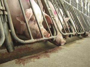 Female breeding pigs in crates at a Virginia factory farm.